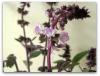 Thumbnail image for Purple Sweet Basil Flowers and Orange Zest Tea
